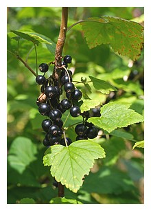 Fresh ideas Blackcurrants are a body booster