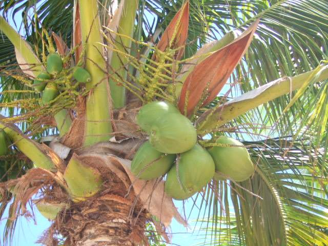 Crazy for coconuts fresh ideas