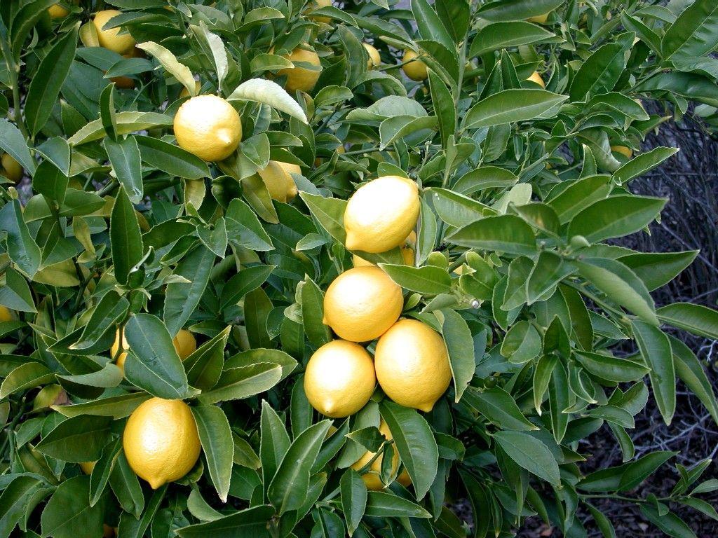 Lively lemon fresh ideas