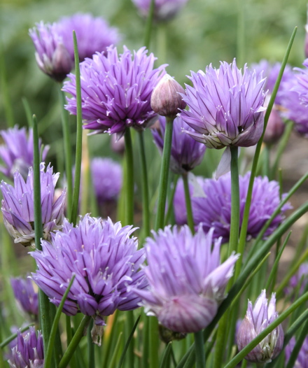 Fresh ideas It's time to plant chives