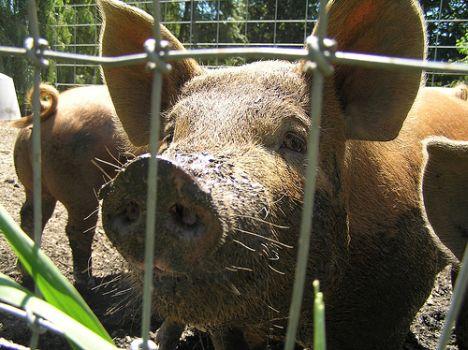 NZ Pig farm standards fresh ideas