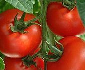 Tomatoes are kiwi favorite fresh ideas
